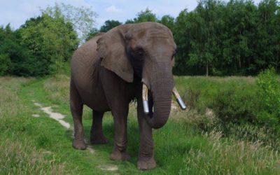 Gun Buba een leven als olifant