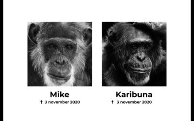 Aangifte tegen Dierenpark Amersfoort over doodschieten chimpansees Mike en Karibuna